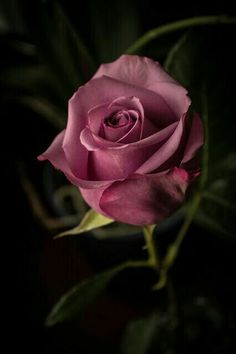 Rose with a nice color Beautiful Rose Flowers, Pretty Roses, Flowers Nature, Exotic Flowers, Amazing Flowers, My Flower, Flower Art, Beautiful Flowers, Flower Images