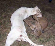 Dogo Argentino vs Puma5789