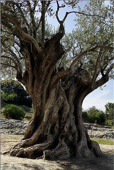 olivo milenario
