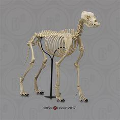 Large Dog Breeds, Large Dogs, Wide Set Eyes, Dog Skeleton, Dog Activities, Gentle Giant, Animal Kingdom, Giraffe, Tooth