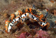 a nudibranch Underwater Creatures, Underwater Life, Ocean Creatures, Beautiful Sea Creatures, Under The Ocean, Sea Snail, Sea Slug, Water Animals, Marine Fish