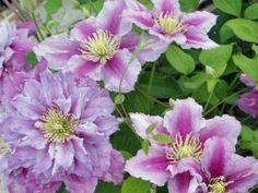 Clematis, Plants, Landscape Nursery, Garten, Flora, Plant, Planting