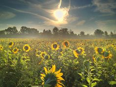 beautiful Sunflowers in the field...WAtching the Sunrise
