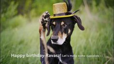 Happy 12th birthday Ravasz! | Birthday video and delicious cupcakes for dogs