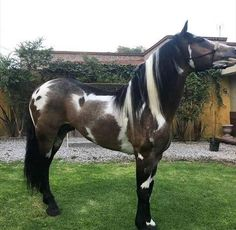 Stunning and unusual horse Most Beautiful Horses, All The Pretty Horses, Beautiful Horse Pictures, Beautiful Dream, Rare Horses, Wild Horses, Black Horses, Animals And Pets, Funny Animals