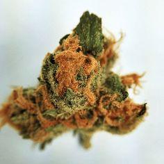 cinderella 99 strain