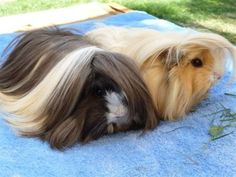 baby guinea pigs in clothes | Other Pets | Gumtree Australia Free Local Classifieds