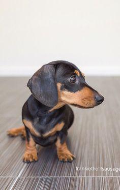 ❤️ Short Haired Dachshund, Baby Dachshund, Black And Tan Dachshund, Sausage Dogs, Weenie Dogs, Old Dogs, Dog Portraits, Mans Best Friend, Dog Breeds
