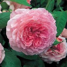 James Galway climbing rose from David Austin Roses.  I have this on my front porch column.