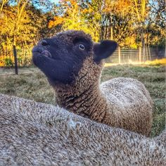 SweetPea is trying so hard to lick that last little bit of minerals off her face! Farm Animals, Animals And Pets, Babydoll Sheep, Baa Baa Black Sheep, Sheep And Lamb, Counting Sheep, Super Cute Animals, Goat Farming, The Good Shepherd