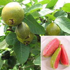 Guava 'Ruby Supreme' (Psidium guajava)  One of the easiest tropical fruiting plants to grow for the beginning fruit gardener, 'Ruby Supreme' has baseball-sized fruits that turn yellow when ripe. The inner flesh is highly aromatic, sweet and pink. It can be eaten fresh or made into jelly or juice. For optimum sweetness, let the fruit fully ripen on the tree when the skin yields slightly to the touch.