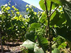 Adrian & Diego Mathier Nouveau Salquenen AG in Salgesch, Wallis Wallis, Wine Tasting, Switzerland, Vines, Amp, Plants, Flora, Arbors, Plant