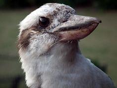 Laughing Kookaburra (Dacelo novaeguineae) a very tame bird on rail