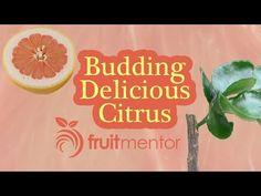 ▶ Bud Grafting Citrus Fruit Trees - YouTube