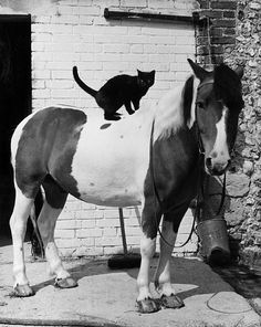 A black cat and a skewbald pony in the stable yard at Berwick Riding Centre in Alfriston, Sussex.