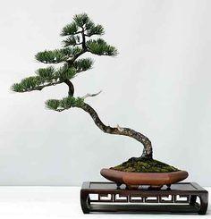 japanese black pine feminine bonsai - Google Search