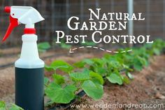 BEST natural garden pest control.  Boiled Onions, garlic, cayenne pepper and soap.