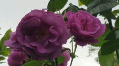 Rhapsody in blue in my garden!!