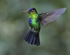 1st Place winner of the September Challenge at FineArtAmerica: Fiery-throated Hummingbird.., by Nina Stavlund