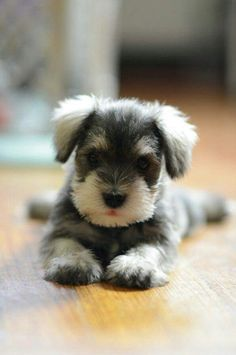 Cute Schnauzer Puppy Relaxing