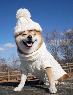 In Osaka, Japan, the Japanese Shiba Inu berry has the cutest smile, so many people like it, let's take a look at this cute puppy!The Japanese Shiba Inu is Cute Animal Memes, Funny Animal Photos, Cute Animal Pictures, Baby Animals Super Cute, Cute Little Animals, Oh Deer, Cute Japanese, Fluffy Animals, Dog Costumes
