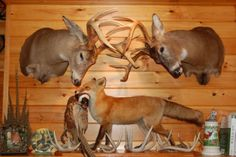 Deer Mounts on Pinterest | Hunting