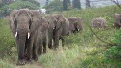 olifantenkudde - Google zoeken