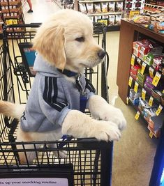Animals And Pets Dogs Golden Retrievers Super Cute Puppies, Cute Baby Dogs, Cute Little Puppies, Cute Dogs And Puppies, Cute Little Animals, Cute Funny Animals, Doggies, Bulldog Puppies, Poodle Puppies