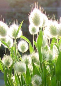 A grass for Easter: Lagurus ovatus - Bunny tails ornamental grass Moon Garden, Dream Garden, Do It Yourself Garten, White Flowers, Beautiful Flowers, Design Jardin, Bunny Tail, Grass Seed, White Gardens