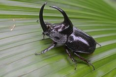 Bizarre Insects and Arachnids: 30 Surprising and Fascinating Facts ~ Rhinoceros Beetle