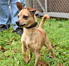 Chiweenie Dog for Adoption near North Carolina, Durham, USA. Rescue Dogs, Animal Rescue, Pet Dogs, Weiner Dogs, Pets, Cute Chihuahua, Chihuahua Puppies, Chihuahuas, Chiweenie Dogs