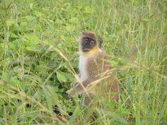 Lucky to see wild monkey in Barbados Barbados, Monkey, Bird, Animals, Jumpsuit, Animales, Animaux, Birds, Monkeys