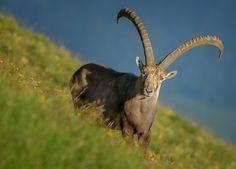 Alpine Ibex ,Brienzer Rothorn Switzerland