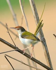 "The Common Tailorbird (Orthotomus sutorius) is a songbird found across tropical Asia. Popular for its nest made of leaves ""sewn"" together."