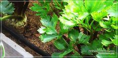 выращвиание корневого сельдерея