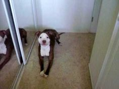 """No One Believed What My Pit Bull Does When I Say """"Bath"""", So I Filmed This!"""