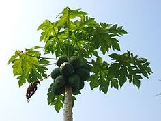 Papaya Leaves Medicinal Herbs | Carica Papaya | Medicinalherbs-4u.com