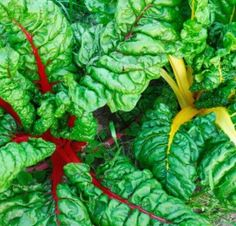 Swiss Chard-the only thing still going strong in the garden in November!