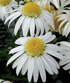 """Shasta Daisy, Alaska  One of the oldest and still one of the best, with long-lasting cuts of blooms 3"""" across. A three-month burst of pure white, with numerous petals radiating from soft yellow eyes. Under the flowers, a neat backdrop of glistening, deep green foliage. Mix with lady's mantle, salvias, star zinnias and coreopsis for a vibrant, dramatic display."""