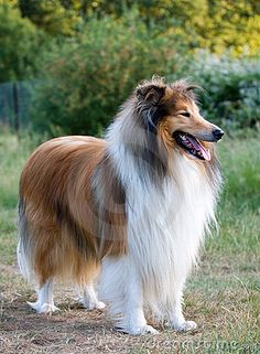 White Rough Collie | ... of a beautiful sable and white rough collie dog standing in a field