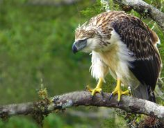The Philippine eagle is a protected species and killing one means twelve years of prison in Philippines. Even so, it is still one of the most endangered birds in the world, with as few as eagles living in the wild today. Eurasian Eagle Owl, Harpy Eagle, Bald Eagle, Eagle Bird, Filipino, Our National Bird, Philippine Eagle, Largest Bird Of Prey, Andean Condor