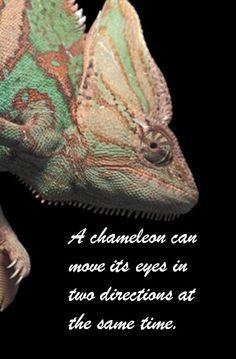 Chameleon Fact: They can move their eyes in 2 directions at the same time.