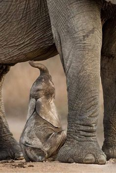 Cute Creatures, Beautiful Creatures, Animals Beautiful, Nature Animals, Animals And Pets, Funny Animals, Elephant Photography, Elephants Photos, Elephant Love