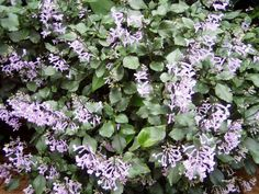Purple Swedish Ivy, fast growing hanging, flowering #houseplants.