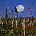 Full moon rising over dead cypress trees in the Loxahatchee Slough by HDRcustoms (very busy)