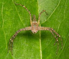Lynx spider - (Oxyopidae)
