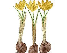 crocuses botanical giclee print reproduction watercolor