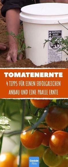 Wünschst du dir dieses Jahr eine besonders großzügige, pralle Tomatenernte, solltest du dich hieran halten.