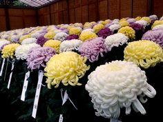 Chrysanthemum 2014 Shinjuku Gyoen