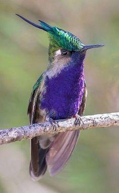 Plovercrest hummingbird, Brazil - ©Glenn Bartley